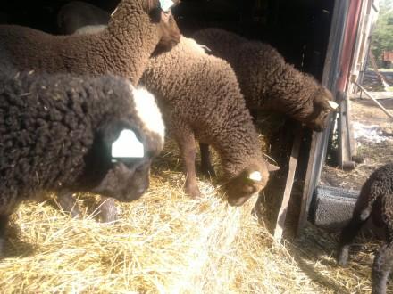 Lammen påväg ut