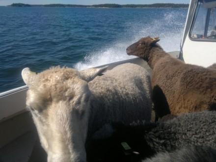 Fåren i båten