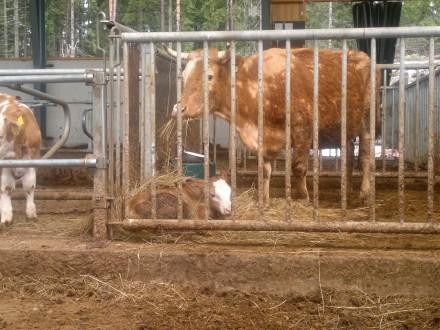 Ko med kalv