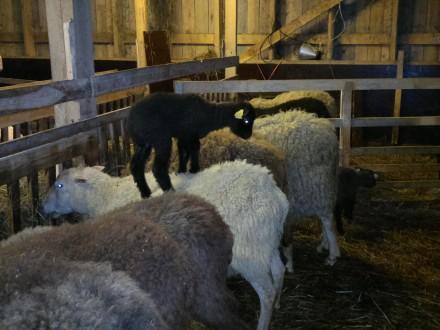 Lammstudds på tackorna