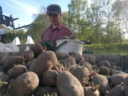 Potatisklyvning