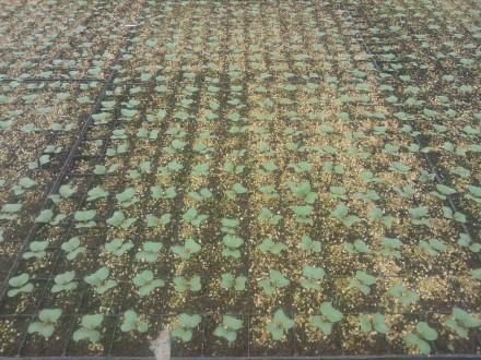 Broccoliplantor en vecka efter sådd.........