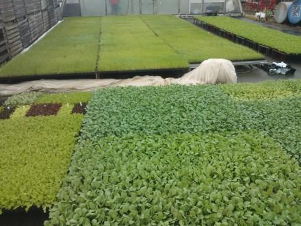 Plantorna ut på avhärdning inför plantering.