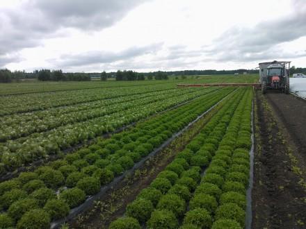 Dags för skörd en månad efter planteringen, det är nytt rekord för de tidiga planteringarna :)