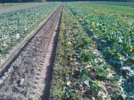 Endast ströexemplar återstår av den sista omgången blomkål till höger om körspåret. Likadant är det med den nästsista broccolin till vänster.