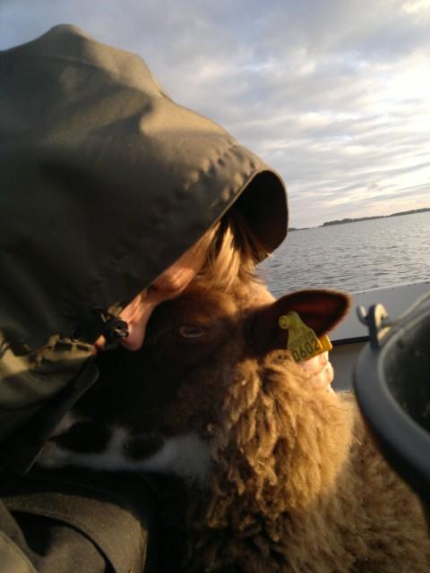 hämta får från hundskär 2013 017