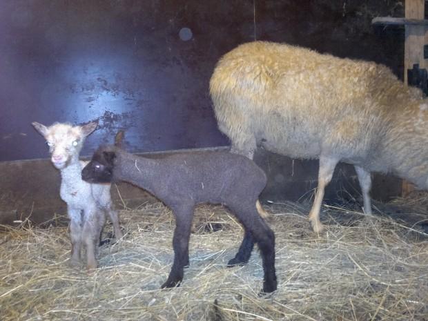 Årets första lamm