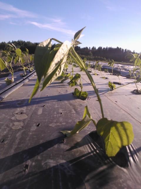 De vindpinade bönorna har dock större chans att repa sig trots att en del blad blåst sönder.