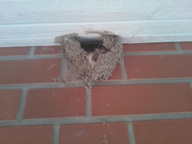 Efter att svalboet tömts på ungar av skatorna för andra gången i sommar gav hussvalsparet upp och drog iväg.