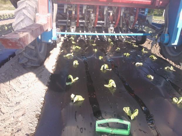 De nyplanterade sallatsplantorna får lite första hjälp tills de rotat sig. Finns det inte bevattningsvatten i bäcken får man försöka köra dit lite vatten på annat sätt.........