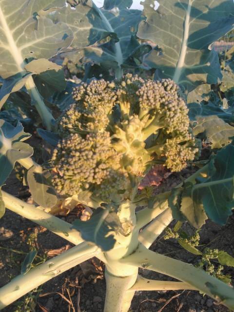 .... och broccoli går an.