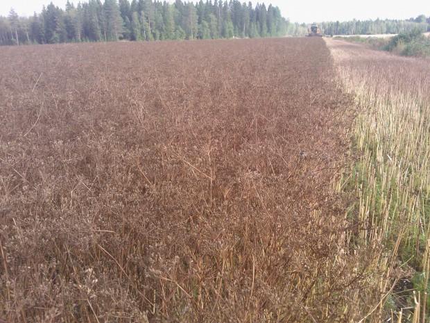 Sylvia-kumminet i Långmossen gav också bra skörd även om torkan fläckvis lett till att växtligheten så gott som helt torkat bort.