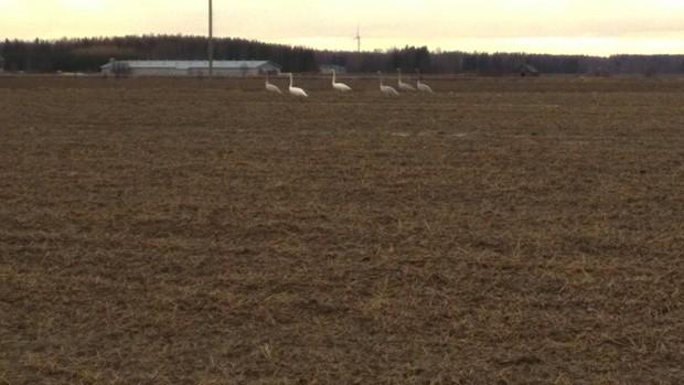 Några tidiga svanar sökte spillsäd på grannens åker.