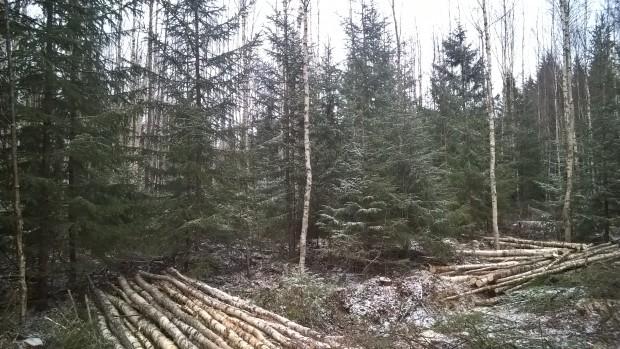 Efter gallringen som gav en hel del flisvirke, det är nog ingen brist på skogsenergi här. I bakgrunden är ännu arbetet på hälft.