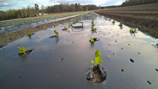 Plantorna är lite mindre än de brukar vara på grund av att det varit kallt och mulet väder. Å andra sidan är små plantor lättare att få i gång efter planteringen.