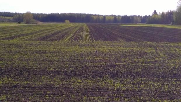 Det sist sådda kornet i medlet av fältet håller på att gro på det fuktiga fältet. Det grönare partiet sått en dag tidigare. Det har antagligen blivit kallare i jorden anefter eftersom skillnaden är så stor. Det längre hunna har hunnit ta del av varmare jordtemperaturer.