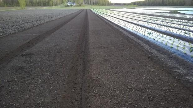 Bäddar frästa i lämpligt fuktig jord inför morgondagens plantering.