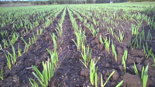 """Det gror bra i de fuktiga förhållandena trots """"grovt bruk"""". Men också ogräsen gror bra så snart borde man börja ta itu med ogräsbekämpningen mitt i det halvfärdiga vårbruket."""