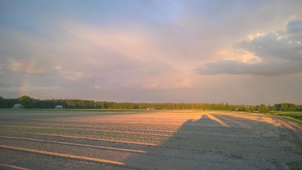 Regnet var hotande nära i den sena midsommarnatten men höll sig borta från grönsaksbondens åker.