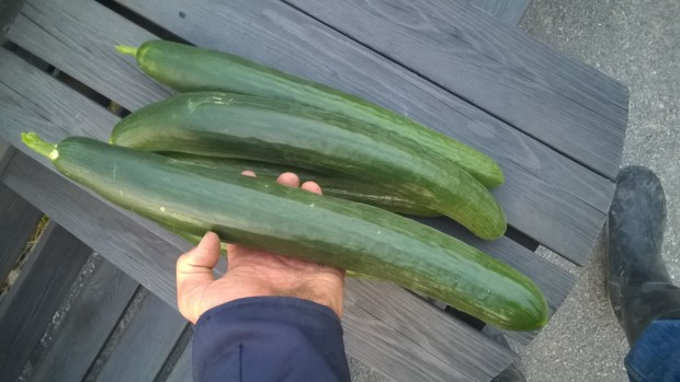 """....likaså hade gurkorna uppnått rejäl """"karastorlek"""" under tiden :)"""