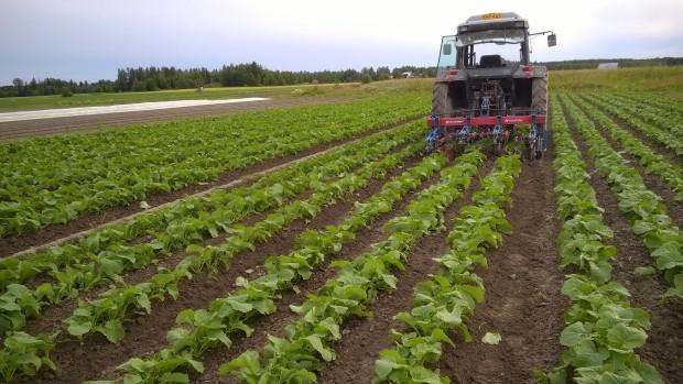 25.7.2015. Sista chansen att traktorhacka kålrötterna? Några regndagar och växtligheten sluter sig.