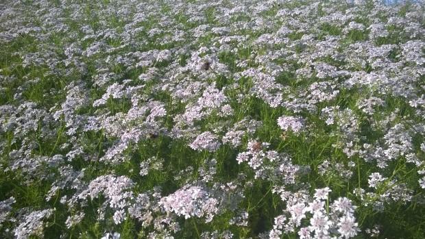 13.8.2015 Koriandern i full blomning till glädje för humlor och bin.