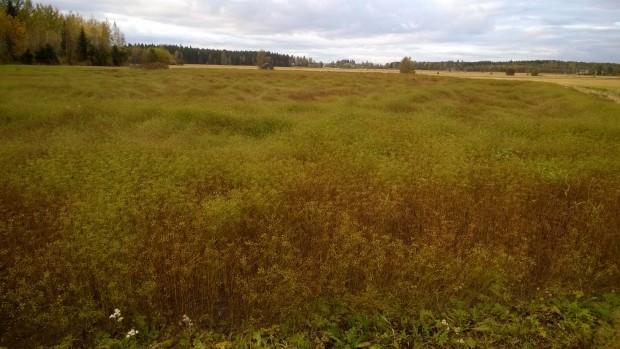 """27.9.2015. Lite """"böljegång"""" i växtligheten efter regnen men en hel del fortfarande grönt och omoget."""