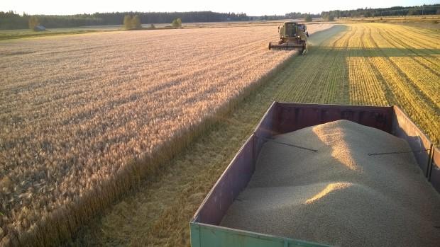 Skörd av korn i Långmossen 10.9.2015