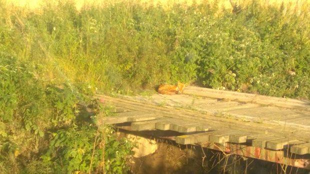 24.08.2016. Mickel Räv på första parkett (föregående bro uppströms) för att se på när jag körde över ån på ramarna.