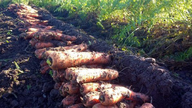 Det blir en hel del rötter från en dubbelrad med morot........
